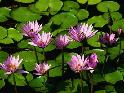 20071106150111-water-lilies.jpg