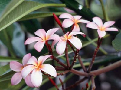 20090619205500-frangipani-flowers.jpg