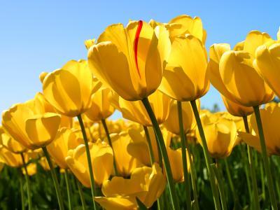 20130113135617-tulips.jpg